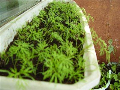 Выращивание укропа на балконе в домашних условиях