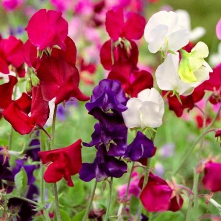 горошек душистый фото цветы