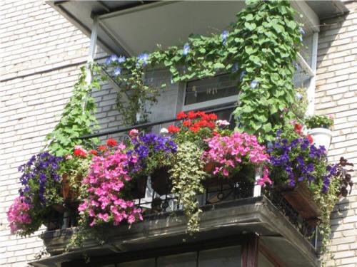 Как вырастить петунию на балконе и ухаживать за ней