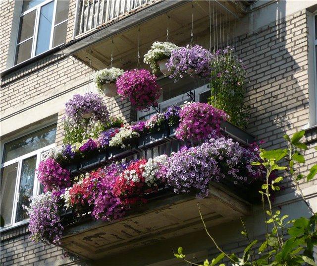 Цветущие петунии на балконе